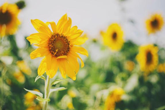 Sweetfields Farm Sunflower Field Photoshoot in Florida